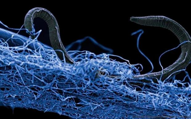 Scientists found it living within a fluid and gas-filled fracture 2.8km beneath Earth's surface; below, a nematode worm in a biofilm of micro- organisms found in Kopanang gold mine in South Africa, lives 1.4 km below the Earth's surface