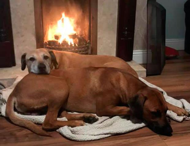 Harley, a Rhodesian Ridgeback pup, went missing on December 3... and showed up a week later