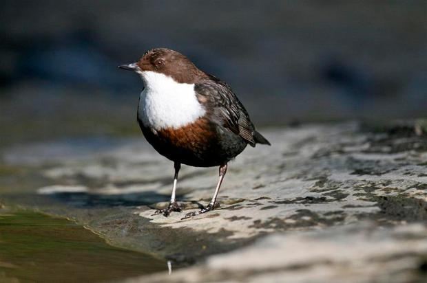 DILIGENT: Delightful dippers have developed as a distinct Irish sub-species