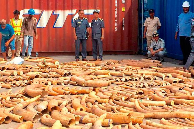 Cambodia seized more than 3.2 tonnes of elephant tusks hidden in a storage container sent from Mozambique, a customs official said on December 16, marking the country's largest ivory bust. (Photo by BAN CHORK / AFP)BAN CHORK/AFP/Getty Images