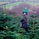 Festive spirit: Oisin Carson (4) chooses a Christmas tree at Wicklow Way Christmas tree farm in Co Wicklow. Photo: PA