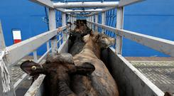 In the case of no deal, every consignment of live animals and animal products coming from the UK would have to undergo checks in border inspection posts (BIPs) at the point of entry into the EU. Stock Image. REUTERS