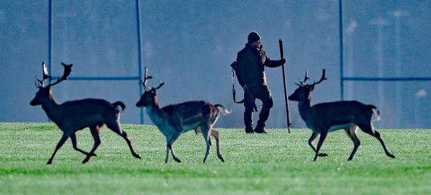 Population control: A deer cull is carried out in Phoenix Park, Dublin. Photo: PA