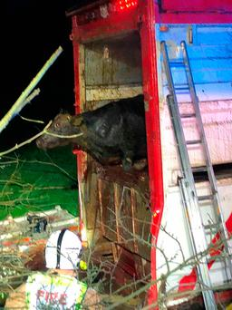 Rescue of 39 bulls from an overturned articulated cattle lorry on the Cavan Road in Newtownbutler in Co Fermanagh, close to the Irish border early on Friday morning. PA Wire