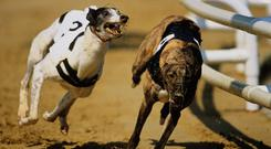 Pat Guilfoyle's dog made the usual fast break and was six clear entering the back straight. Stock picture