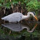 Still life: A heron is reflected in the perfectly still waters of the River Dodder in Dublin as it hunts for its dinner. Photo: Damien Eagers