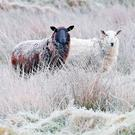 Seasonal wear: Sheep in frosty fields near Blessington, Co Wicklow. Photo: Niall Carson/PA Wire