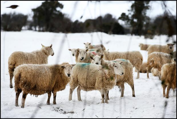 Sheep keeping an eye out for the Beast from the East in 2018. Pic Steve Humphreys