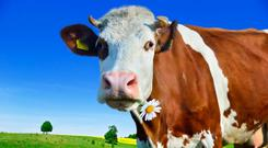 Methane belched by cows can stay in atmosphere for 12 years
