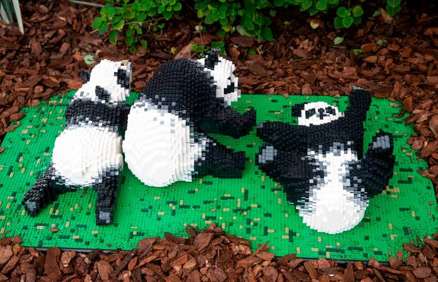 Lego pandas, one of 40 Lego sculptures going on display as part of the Great Brick Safari in the glasshouse at RHS Garden Wisley, which runs from January 26 to March 3. Credit: Steve Parsons/PA Wire