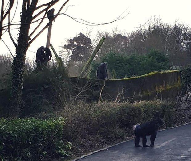 On the loose: The chimps on the loose in Belfast Zoo