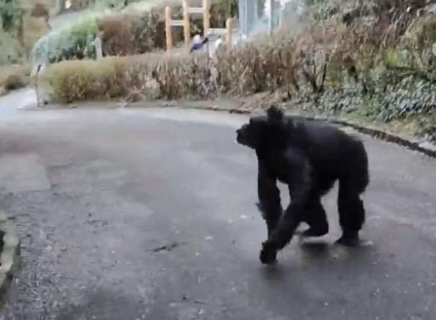 The chimps on the loose in Belfast Zoo