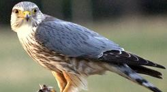 Survey: The merlin is a falcon with a small breeding population