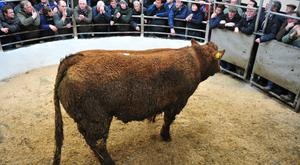 Lot 47 Weight 765Kg, DOB18/03/17, Breed LMX. Price 2100. Owner Peter Hynes. Photo Roger Jones.
