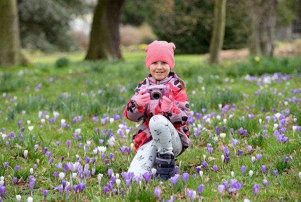 Alicia Okley (7), from Clontarf, taking photos of the crocus in bloom at the Botanic Gardens, Glasnevin, Dublin. Picture: Caroline Quinn