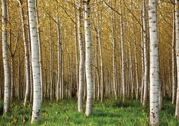 SILVER BIRCH: The tree is a symbol of youth and love