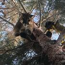 The mountain lion was rescued from a tree (State Department of Fish and Wildlife Warden Rick Fischer/AP)