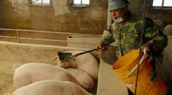 FILE PHOTO: Pig farmer Han Yi feeds pigs on his farm at a village in Changtu county, Liaoning province, China January 17, 2019. REUTERS/Ryan Woo/File Photo