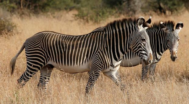How a zebra's stripes can leave bloodsucking flies seeing stars