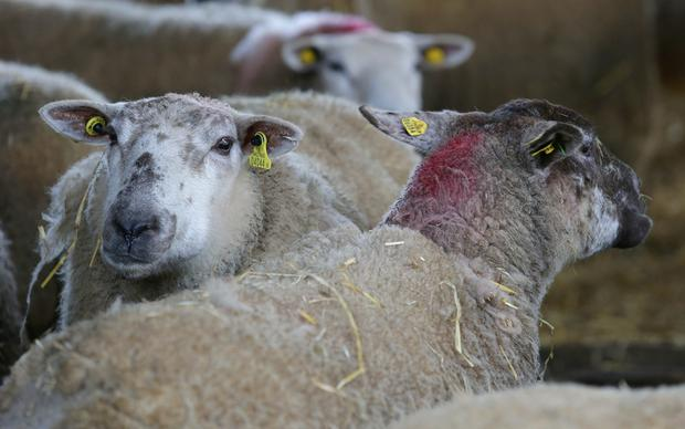 Belclare cross Ewes on Dan Loughlin's farm in Mountrice, Monasterevin, Co. Kildare, where the Grass10 Early Spring Grazing Sheep Walk took place. Picture credit; Damien Eagers / INM
