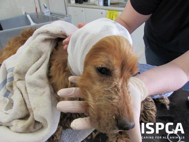 One of the 340 dogs removed from appalling conditions by ISPCA