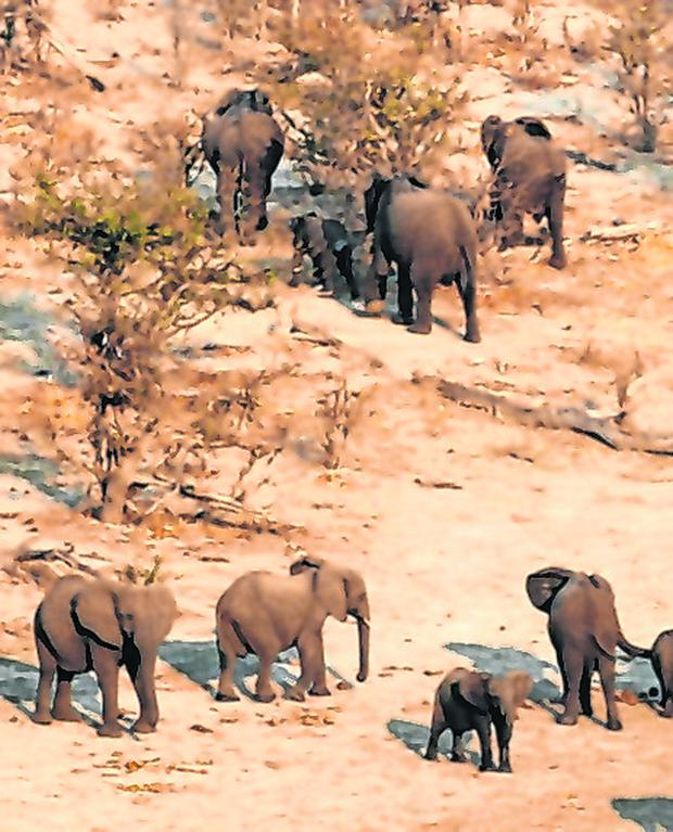 A herd of elephants in the Mababe area of Botswana. Photo: Reuters