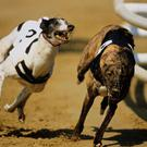 Holland's Lenson Blinder (9.42) will be a strong fancy for the second heat but will get a test from Ballymac Anton and Jaytee Jerry (stock photo)