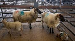 Roscommon Sheep. Lot 66. Weight Amount 2 Ewes 2 Lambs. Price €180 ( per pair). Photo Brian Farrell