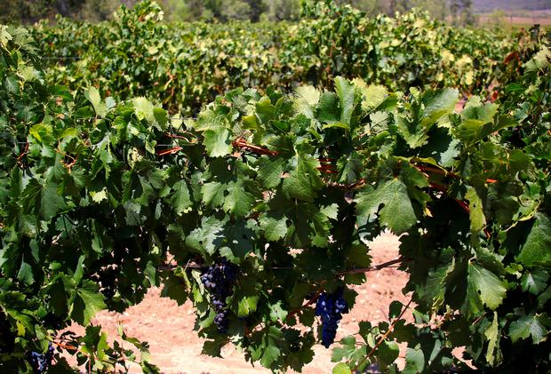 Shiraz grapes can be seen on vines in the Hunter Valley, located north of Sydney, Australia, February 14, 2018. REUTERS/David Gray/File Photo