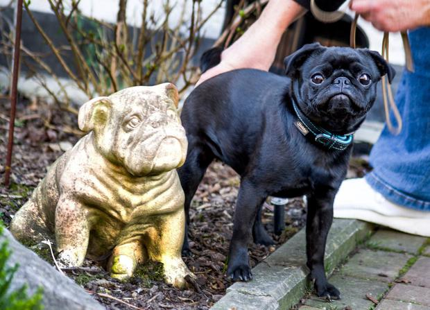 Officials in Germany are defending their decision to seize Edda, an indebted family's pet pug, and sell it on eBay. Photo: AP