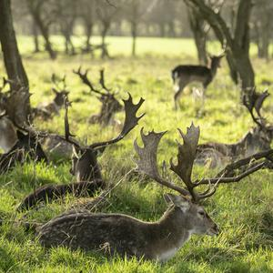 WILD AT HEART OF CITY: Deer roaming in the Phoenix Park in Dublin, one of two herds managed by the Office of Public Works. Picture: Kyran O'Brien