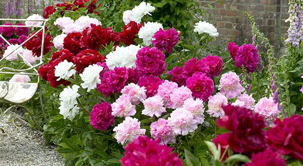 Mr-M-border-garden-peonies.jpg