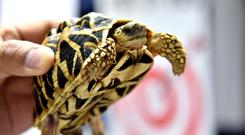 A tortoise seized by Philippines Customs is displayed in Manila, Philippines March 3, 2019 in this picture obtained from social media on March 4, 2019. BUREAU OF CUSTOMS,