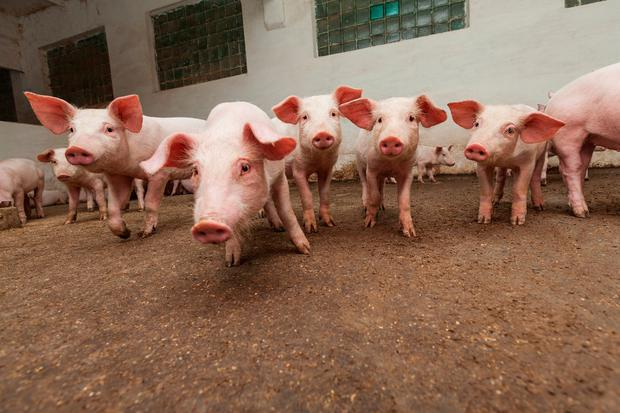 Pig farmers are at their 'wit's end'