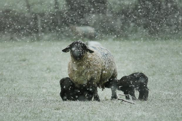 A ewe with two spring lambs gets caught in a snow shower in Drumphea Co Carlow on Sunday. Met Eireann are predicting cold, very unsettled and changeable weather through the rest of the week. Photo: Finbarr O'Rourke