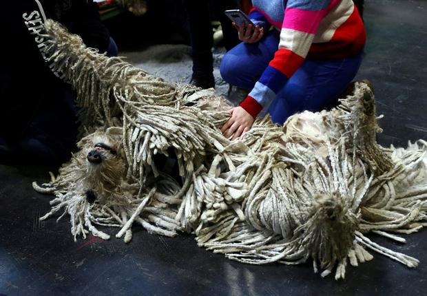 A Komondor relaxes during the second day of the Crufts Dog Show in Birmingham, Britain, March 8, 2019. REUTERS/Hannah McKay