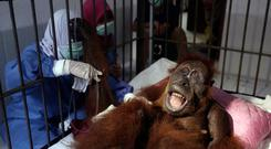 In this photo taken on Sunday, March 17, 2019, veterinarians and volunteers of Sumatra Orangutan Conservation Programme (SOCP) tend to a female orangutan they named 'Hope' after conducting a surgery for infections in some parts of the body and to fix broken bones, at SOCP facility in Sibolangit, North Sumatra, Indonesia.(AP Photo/Binsar Bakkara)