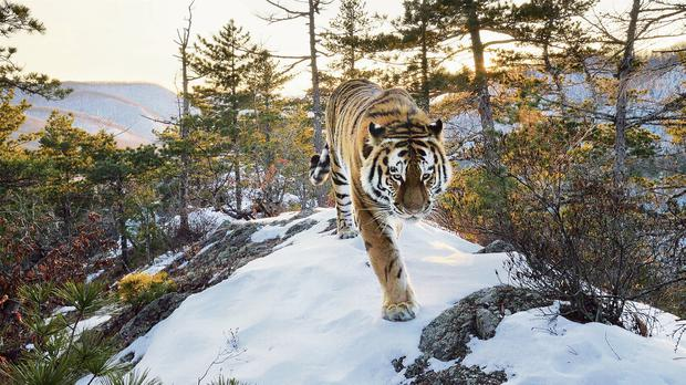 Tiger on Patrol: A male Siberian tiger – filmed by an Our planet camera trap – patrols a mountain ridge in the Sikhote-Alin range in the Russian Far East.