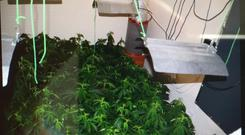 Approximately 130 cannabis plants were discovered along with a quantity of cannabis herb. Photo: An Garda Siochana