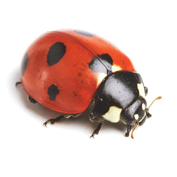 The shiny, scarlet beetle with black spots is a tiny purveyor of pleasure universally attractive to children, an insect welcomed without anxiety