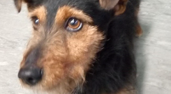 Irish Rail sent out a tweet asking anyone if they knew who owned the little black and tan male dog. Photo: Irish Rail