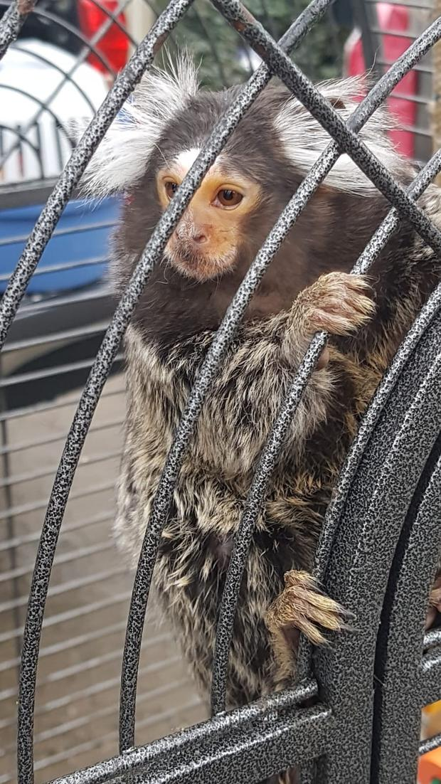 A caged monkey was seized, which has since been handed over to the DSCPA