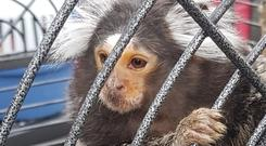 Caged: 'George' the monkey was found by gardaí