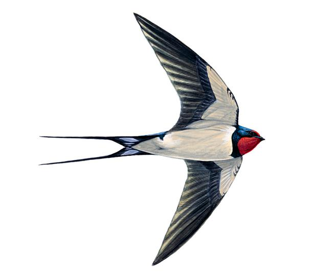 Swallows are a reassurance of seasonal change, uplifting the hearts of those beings below them going about their daily tasks. Photo: Mike Langma