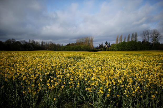 Yellow-flowered colza plants are seen in field in Saint-Jouan-des-Guerets, France, April 7, 2019. REUTERS/Stephane Mahe