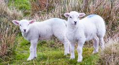 Nematodirosis is a severe disease of lambs six to twelve weeks of age.