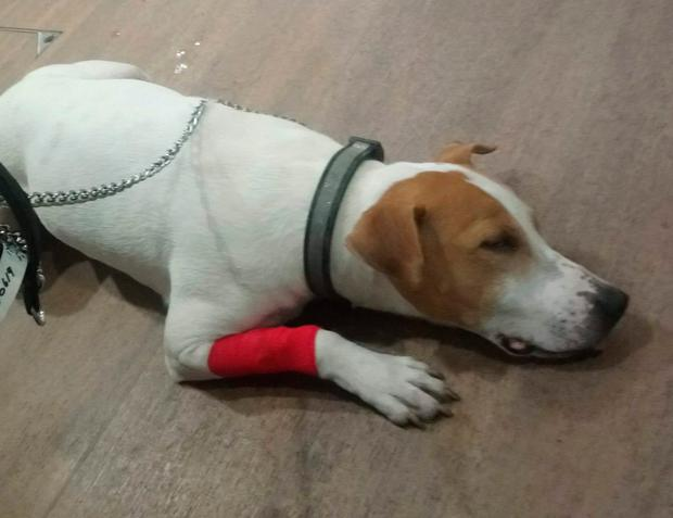 Undated handout photo issued by PDSA of Rocco the Staffordshire Bull Terrier from Cumbernauld, North Lanarkshire after he had to have emergency surgery after eating a Nintendo DS cartridge. Photo: PDSA/PA Wire