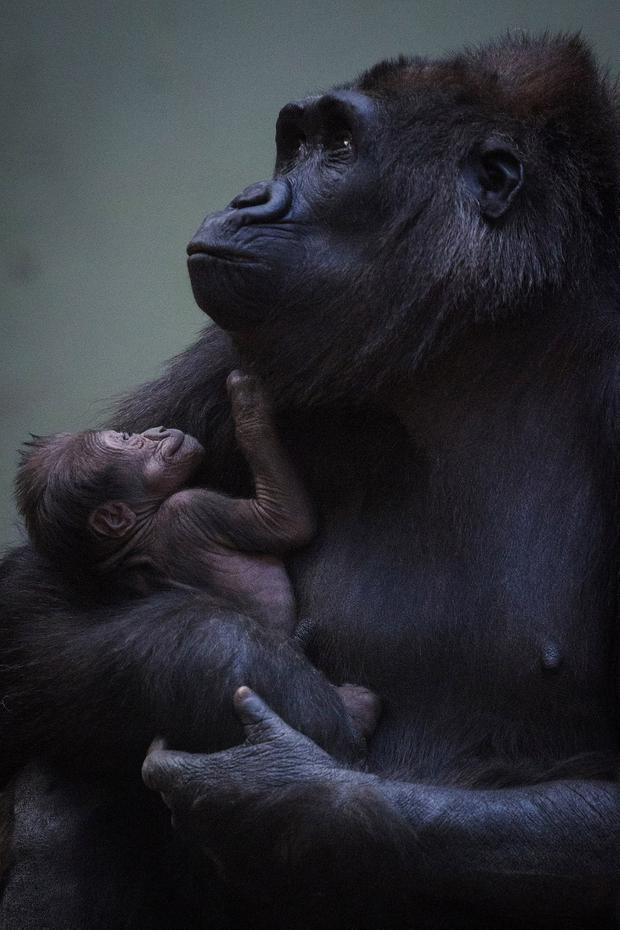 Kafi, a 12-year-old western lowland gorilla at Dublin Zoo, has become a mum for the first time. Picture: Patrick Bolger
