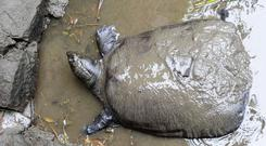A female Yangtze giant softshell turtle at Suzhou Zoo in Suzhou in China's eastern Jiangsu province (Photo by STR / AFP) / China OUTSTR/AFP/Getty Images