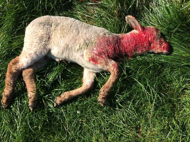 'These were good, strong lambs of four to five weeks old and they suffered a ferocious death'